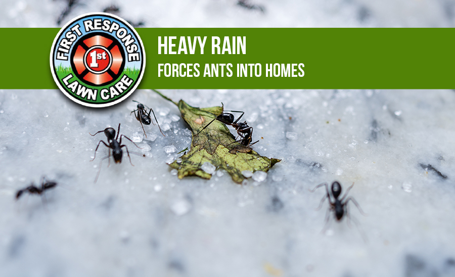 Heavy Rain Forces Ants Into Homes