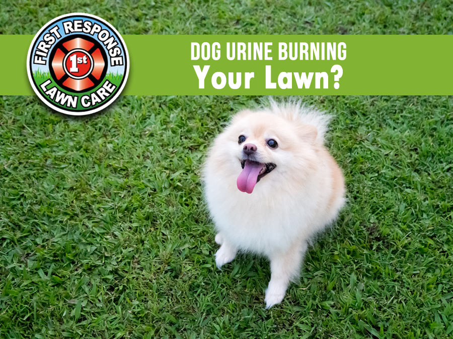 Dog Urine Burning Your Lawn