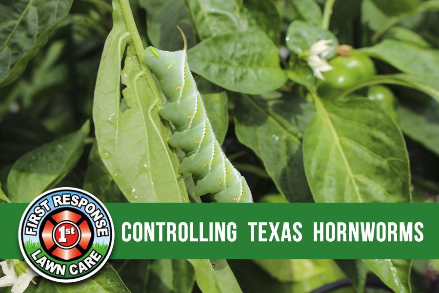 Controlling Texas Hornworms