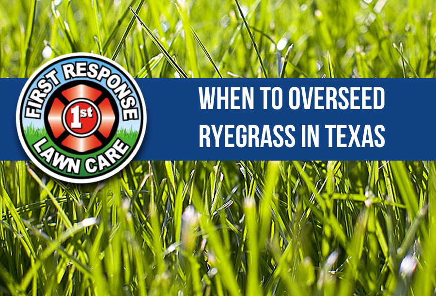When to Overseed Ryegrass in Texas
